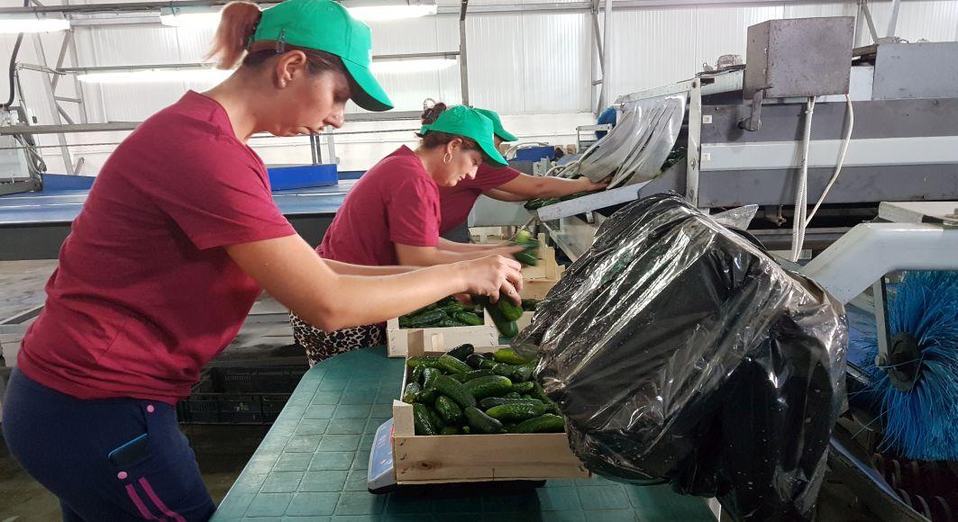 REPORTAJ la ferma unuia dintre cei care produc legumele din Lidl