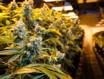 Cultura de cannabis intr-un...