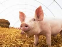 Virusul pestei porcine...