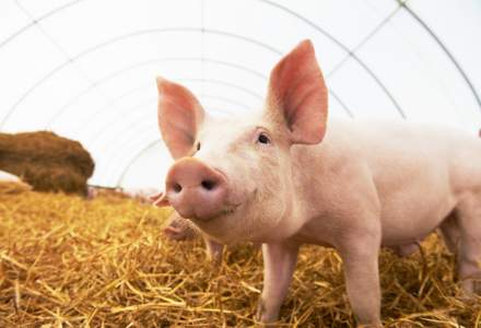 Virusul pestei porcine africane, confirmat in judetul Constanta