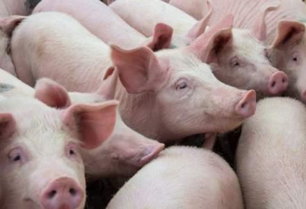 Pesta porcina africana pune stapanire pe un nou judet: peste 230.000 de porci omorati pana in prezent in Romania