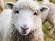 Dupa porci, si oile sunt...
