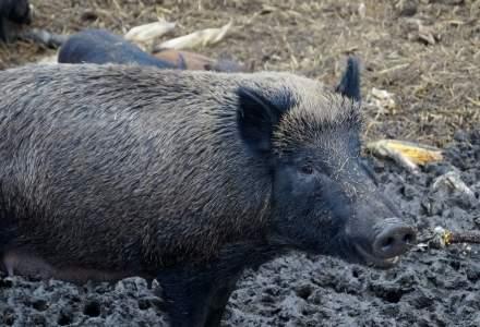 Virusul pestei porcine, depistat la un mistret gasit mort pe un fond de vanatoare din judetul Botosani