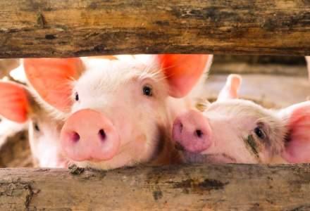 Giurgiu: Un nou focar de pesta porcina confirmat la Valea Dragului