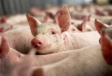 Autoritatile esueaza in a izola cazurile de pesta porcina. Unde s-au extins