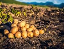 Cartofii au revolutionat...