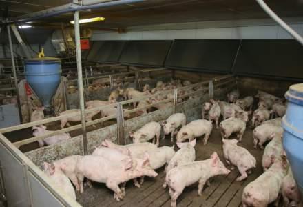 Un bucurestean creste 34 de porci in cartierul Obor. Inspectorii veterinari spun ca e igienic