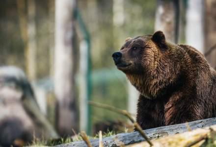 Prezenta unor ursi semnalata in zone locuite din Brasov, Fagaras si Predeal