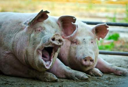 Pesta Porcina Africana evolueaza in 25 de judete. Aproape 500.000 de porci, sacrificati