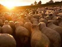 Sase ciobani cu 300 de oi...