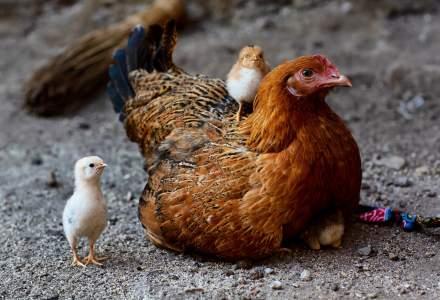 ANSVSA a retras de la comercializare carne de pasare din Ungaria, unde exista gripa aviara