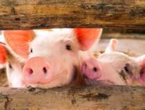 ANSVSA: Pesta porcina...
