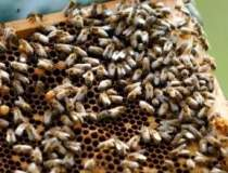 Disparitia albinelor va...