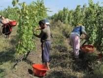 Producatorii de vin, dupa un...
