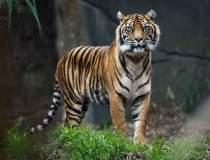 Un tigru de la o grădină...