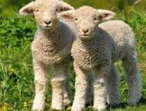 Ciobanii vor să taie mieii în...