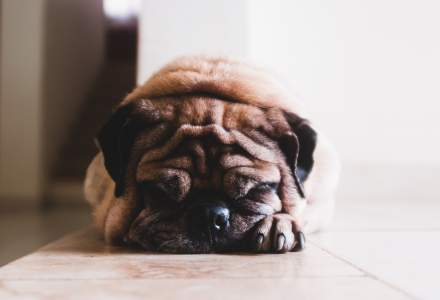 Un mops este primul câine din Statele Unite testat pozitiv pentru noul coronavirus