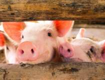 Situație gravă: Pesta porcină...