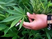 Ferma de cannabis descoperita...