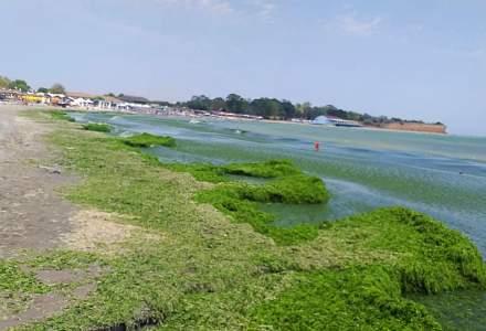 """""""Mareea verde"""" a apărut din nou pe plajele de pe litoralul românesc"""