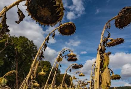 Situație DEZASTRUOASĂ pentru fermieri: Seceta a afectat toate culturile, nu se mai recoltează nimic!