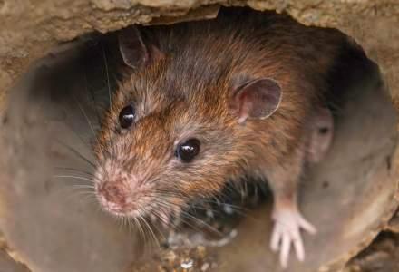 Un șobolan folosit la detectarea minelor a fost decorat pentru curaj și devotament