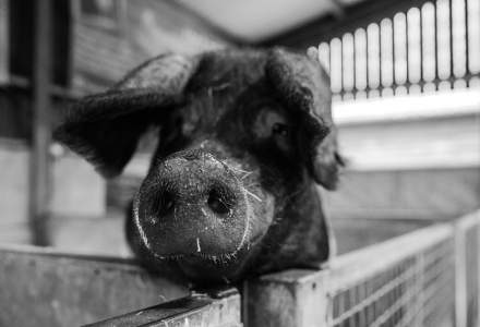 Sute de focare de pestă porcină în 32 de județe