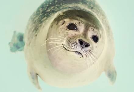 O nouă specie de focă schimbă ce știam despre aceste animale