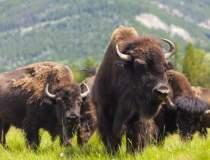 Cea mai mare ferma de bizoni...