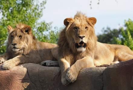 Patru lei de la Grădina Zoologică din Barcelona au fost testaţi pozitiv la COVID-19