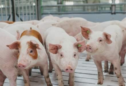De la coronavirus, la pesta porcină: Cum fac față producătorii de carne la noile riscuri