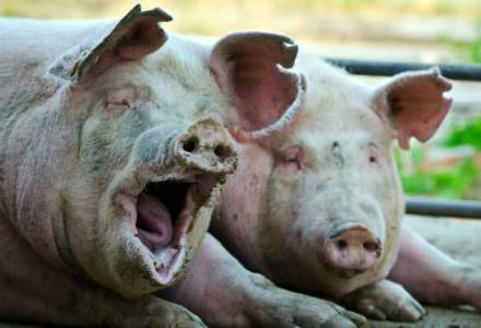 Peste 400 de focare de pestă porcină africană înregistrate în România