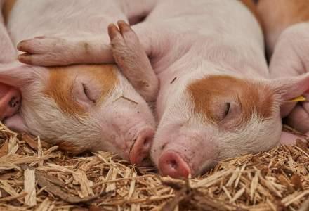 Focar de pestă porcină într-o localitate din județul Vrancea