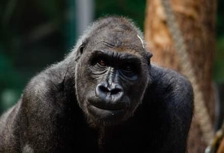 Două gorile de la o grădină zoologică din California au fost testate pozitiv pentru noul coronavirus