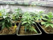 Marijuana isi face efectul...