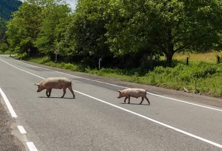 Un tir cu 600 de porci s-a răsturnat în Bistrița