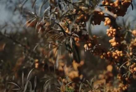 Un IT-ist a investit în agricultura BIO: povestea business-ului de cătină început în Piatra Neamț