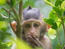 VIDEO: Maimuța cu cip în...