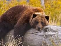 Cîţu despre ursul împuşcat în...