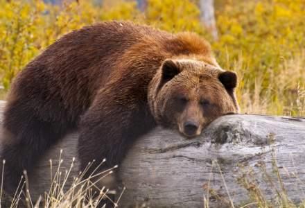 Cîţu despre ursul împuşcat în Covasna: Se pare că nu este cel mai mare