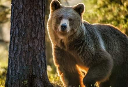 Cazul ursului Arthur, în vizorul Comisiei Europene. Ce spune comisarul european pentru Mediu