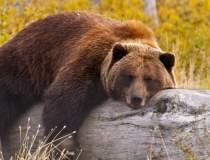 Atacurile urșilor s-au...