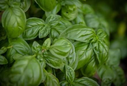 Cultivatorii de plante aromatice vor primi un ajutor din partea Ministerului Agriculturii