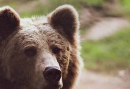 Tanczos Barna ar vrea ca urșii care fac probleme să poată fi sedați sau împușcați în 24 de ore după atac. Decizia va fi discutată în coaliție