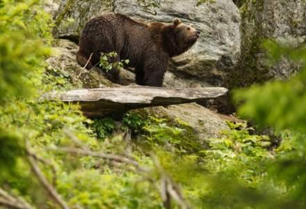 Ministrul Mediului spune că s-ar putea da undă verde împușcării urșilor agresivi