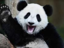 VIDEO | Oficial: Urșii panda...