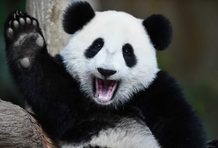 VIDEO | Oficial: Urșii panda nu mai sunt pe cale de dispariție
