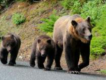 Harghita: O ursoaică cu pui a...
