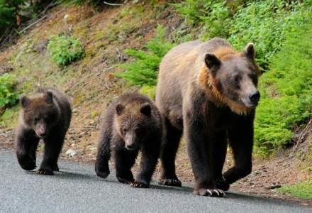 Harghita: O ursoaică cu pui a intrat în bucătăria unei case; proprietara s-a baricadat în cameră