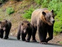 Încă un bărbat atacat de urs...